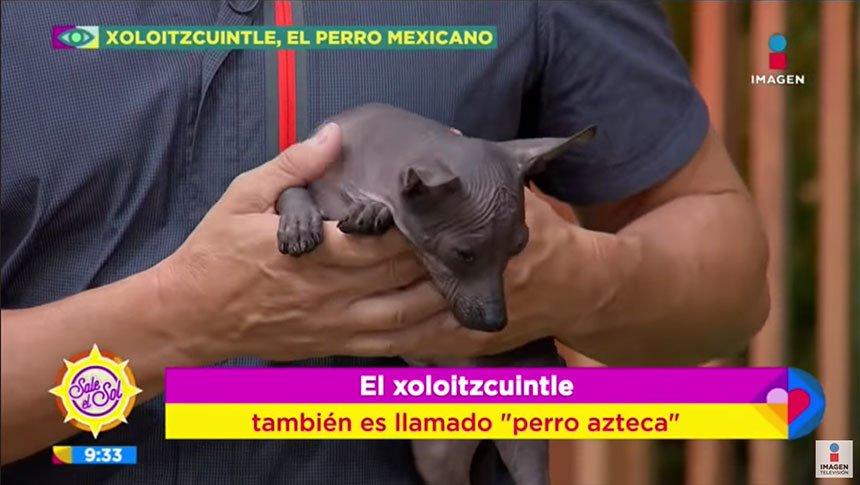 ¡Orgullo mexicano! Xoloitzcuintle y sus características
